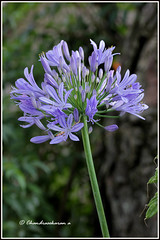 6825 - Agapanthus (chandrasekaran a 40 lakhs views Thanks to all) Tags: agapanthus kodaikanal tamilnadu india nature flowers canon60d tamron90mm macro