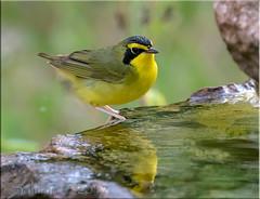 Kentucky Warbler (fwsalmon) Tags: kentuckywarbler geothlypisformosa fortdesoto stpetersburg florida canon7dmarkii canon100400lii