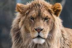 African Lion 65 (cypher40k Photography) Tags: africanlion bigcat color colour junglecatworld lion mane nikon zoo