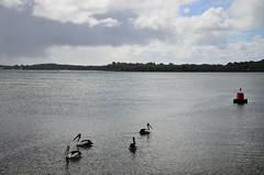 Port Macquarie, NSW, Australia (phudd23) Tags: portmacquarie pelicans nsw newsouthwales australia