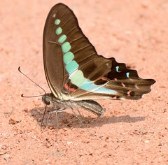 Common Bluebottle (sreejithkallethu) Tags: commonbluebottle nature naturephotography butterflies butterfliesofkerala polachira kollam kerala