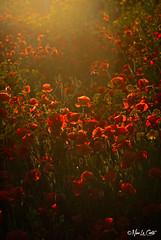 Papaveri (Nino La Corte) Tags: marsala stagnone sicilia sicily italy flowers poppys papaveri fiori spring primavera