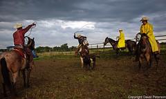 cowboy-roundup-rope-cattle (cheroyori) Tags: cowboy roundup roping lariat vaccination cows western horses branding rain rainbow mud teamwork ranch calf stetson storm sunrise work task friendship outdoors
