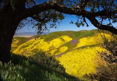 Carrizo Framed (DM Weber) Tags: carrizo plain national monument cpnm landscape flowers tree frame california psa148 dmweber yellow purple colors