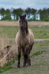 Konik horse (madphotographers) Tags: konik konikpaarden oostvaardersplassen nature wild wilderness horses horse