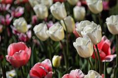 Ascott Tulips (meniscuslens) Tags: white pink tulips flowers plants ascott national trust garden