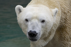 Anana (ucumari photography) Tags: ucumariphotography cincinnati zoo ohio april 2017 anana polarbear ursusmaritimus oso animal mammal dsc1574 specanimal bear osopolar ourspolaire oursblanc eisbär ísbjörn orsopolare полярныймедведь 北極熊