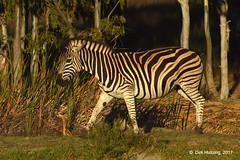 Burchell's Zebra 117718gb (Dirk Huitzing) Tags: burchellszebra equusburchelii