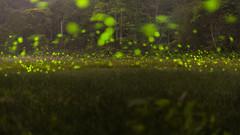 (nikfwow) Tags: firefly 螢火蟲 2017 蓮華池 voigtlander nokton 58mm f14 slii