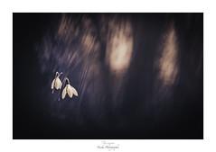 Face aux portes des ténèbres (Naska Photographie) Tags: naska photographie photo photographe paysage proxy proxyphoto macro macrophotographie macrophoto nature sauvage fleur flower floral perce neige minimaliste minimalisme monochrome sombre obscure ténébreux angoisse dark darkness forest foret forêt bois wood
