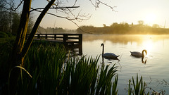 Drinking in the Morning Sun (Mark BJ) Tags: daisynook countrypark crimelake swans sunrise fishingjetty reflection sun spring grass tree branches manchester uk oldham failsworth hollinwoodcanal mist onedaylikethis elbow aquatic bird muteswan cygnusolor waterplants magical