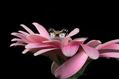 Amazon Milk Frog, CaptiveLight, Bournemouth, UK (rmk2112rmk) Tags: amazonmilkfrog captivelight milkfrog frog amphibian trachycephalusresinifictrix herps macro dof