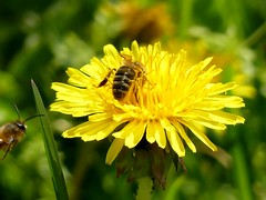 Achtung Tiefflieger*** Attention Strafer ;-) (BrigitteE1) Tags: achtungtiefflieger attentionstrafer löwenzahn dandelion biene bee bienen bees yellow green flower insect specanimal