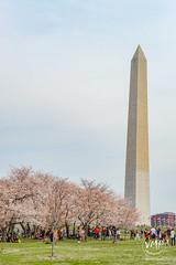 600_4881 (VMP photography) Tags: sakura washington cherryblossom tree travel capitol usa united unitedstates landmarks monuments jefferson lincoln