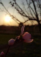 (Iggy Y) Tags: prunus persica spring flowers pink flower bud buds blossom green leaves sunset day light trešnja sweetcherry sweet cherry branch tree nature sun