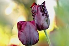 Artistic Tulips cin (kiareimages1) Tags: flowers tulips colors images macroflowers macro bordeaux bokeh spring kiareimaginations