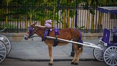 Purple Pony (Explored) (SimplSam) Tags: neworleans panasoniclumixg7 street usa horse pony cart purple oldfashioned nola p1340430
