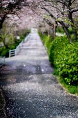 sakura_43 (gnsk) Tags: cherry blossom cherryblossom 桜 flower pentax pentaxart pink prunus landscape japan f12 smca50mmf12
