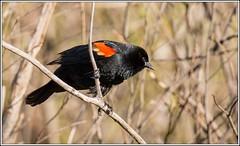 Red-winged Blackbird (M) (Rick Burbidge) Tags: bird redwingedblackbirdm