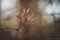 Forest Glow (Viktoria McKee) Tags: forest sunset sun sunlight sunshine naturephotography natureshots nature natureshot natural plants macrophotography macroshots macroshot makro makrofotografie macro macrodreams macromood macrounlimited dof close closeup conifer