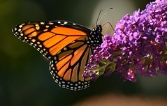 A Monarch Visit (Regina_B_1) Tags: nature butterfly monarch virtualjourney