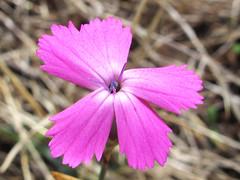 Dianthus * clavel silvestre (jacilluch) Tags: pink flower macro fleur flor blossoms rosa dianthus carnation silvestre clavel clavelina clavellina takenonseptember202014