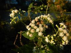 Riverside Flowers (tquist24) Tags: flowers autumn flower macro fall river geotagged nikon indiana elkhart stjosephriver nikoncoolpixaw100