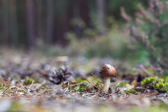 fungi (markhortonphotography) Tags: autumn macro mushroom canon surrey fungi fungus 7d toadstool mytchett deepcut surreyheath eos7d myautumn markhortonphotography