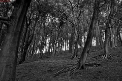 Slanting Trees (percy67) Tags: trees bw white black nature nikon whirlow d3100