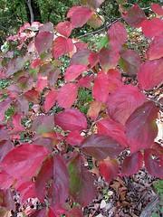Arboretum dogwood IMG_3726 (woodcut55) Tags: red leaves arboretum dogwood nationalarboretum