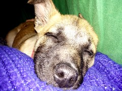 Goodnight from the past... (SPshirohime) Tags: ariel puppy nap sleep sleepy smartphone past lgg2