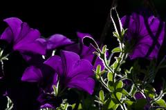 the secret life of petunias ~ Michigan (j van cise photos) Tags: flower purple blossom michigan bloom petunias secretlives afsdxzoomnikkor18135mmf3556gifed nikond7100
