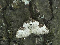 Xanthorhoe fluctuata (Pip Sunmas) Tags: 8256 gardencarpet geometridae közöségestarkaaraszoló larentiinae xanthorhoefluctuata p4208796 geometridaebükk