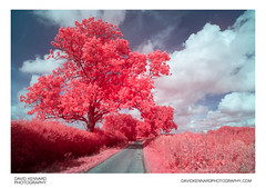 [EIR / Aerochrome] Tree, Hedges, Road, and Sky (davidkennardphoto) Tags: road uk pink england tree europe britain northamptonshire infrared countrylane eastmidlands kodakeir irphotography eastfarndon falsecolourinfrared kodakaerochrome marstontrussellroad