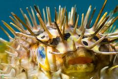 DSC_9579.jpg (d3_plus) Tags: sea sky fish beach japan scenery diving snorkeling  shizuoka   j1  izu     skindiving minamiizu      nikon1 hirizo  balloonporcupinefish  nakagi nikon1j1 1nikkor185mmf18  beachhirizo misakafishingport