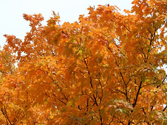 """Orange Fiery Branches 1 • <a style=""""font-size:0.8em;"""" href=""""http://www.flickr.com/photos/34843984@N07/15236938110/"""" target=""""_blank"""">View on Flickr</a>"""