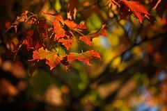 Happy Leaves (SunnyDazzled) Tags: autumn red newyork fall nature leaves sunshine maple colorful bokeh foliage orangecounty marcro