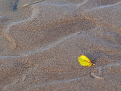 Yellow leaf and wave patterns in the sand (yooperann) Tags: park lake nature natural little michigan country north superior upper trail area peninsula isle marquette presque songbird