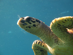 Maldives 2014 (bowsawblogger) Tags: fish animals coral canon sand honeymoon indianocean scuba fantasia snorkelling bsac scubadiving padi reef maldives seaturtle 2014 g16 shorediving scubatravel livaboard scubascuba canong16
