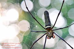Golden Orb Web Spider (frenchinsingapore) Tags: gardens golden spider nikon singapore web orb botanic micronikkor105mmf28 nephilapilipes nikkor105mmf28gvrmicro d5300
