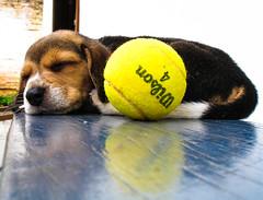 Let's play tennis? (diogoOgawa) Tags: dog cão beagle ball puppy tennis cachorro wilson bola filhote tênis