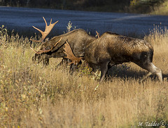 smith-dorion-Oct-010 (Mike Taddeo) Tags: mountains mike canon fight o moose bull e u rit