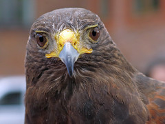 Rufus the Wimbledon Hawk
