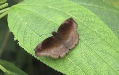 Anastrus narva? Brillian Anastrus (Birdernaturalist) Tags: peru butterfly wings skipper manu hesperiidae pyrginae richhoyer kosnipata