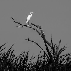 2:49pm, lagoon creek - an egret (Fat Burns ☮) Tags: bird waterbird wader australianbird intermediateegret barcaldine australianfauna ardeaintermedia lagooncreek ffauna nikond800 afsnikkor80400mmf4556gedvr infinitexposure