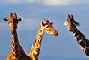 Oh hello humans! (Poulomee Basu) Tags: africa wild holiday colour topf25 beauty animal mammal nikon kenya wildlife dramatic 100v10f giraffe savannah wilderness habitat ecosystem biodiversity riftvalley africansafari animalportrait africanwildlife nikond90 olpejeta olpejetaconservancy nikond90users eveningsightings riftvalleywildlife