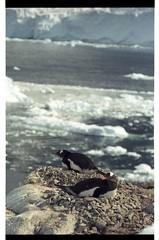 1998_12-005-09-G (becklectic) Tags: bird penguin antarctica 1998 iceberg icefloe views100 antarcticpenninsula worldtrekker