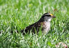 Bruant à gorge blanche - White throated Sparrow.....Lasallle.......Oct 2014....DSCN1416 (Diane.D.G.) Tags: birds sparrow oiseaux whitethroatedsparrow bruant faunaandflora specanimal fantasticnature avianexcellence bruantàgorgeblanche naturesspirit photossansfrontières damniwishidtakenthat alittlebeauty lapetitegalerie bestofdamn ayezloeil treasuresofkeepyoureyesopen realbutee dmslair eblouissantenature lesamisduparcdesrapides thesunshinegroup