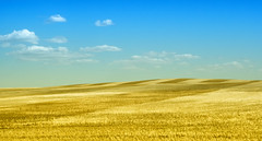 Rolling Gold (ecstaticist) Tags: calgary lines harvest rows drumheller alberta combine fields couds