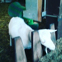 A goat with an itch #goat... (iris het viris) Tags: video goat itch uploaded:by=flickstagram instagram:photo=58617979106138986552918715